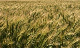 Se declaró el 34,5% de la superficie sembrada