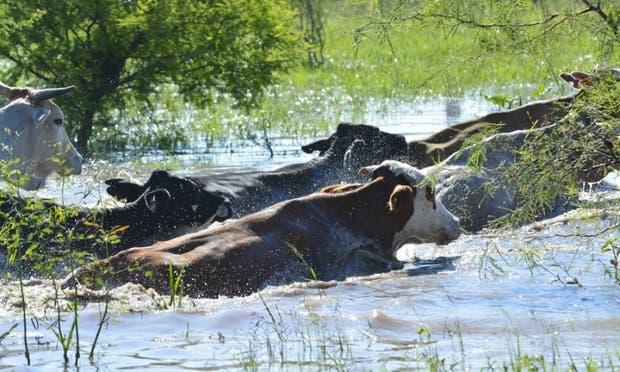 Ganado afectado por el exceso hídrico en la provincia