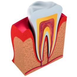 La dentina es el tejido intermedio entre el esmalte y la pulpa (en la ilustración en amarillo).