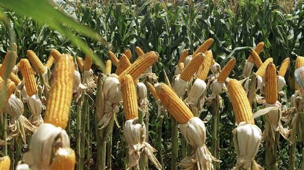 Resultado de imagen para maiz produccion