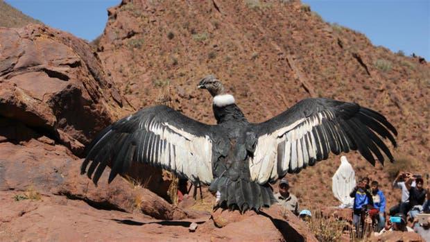 El cóndor Luracatao despliega sus alas antes de volar en libertad, en Salta, el año pasado