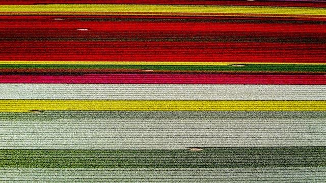 Vista aérea de campos de tulipanes en flor en Lisse