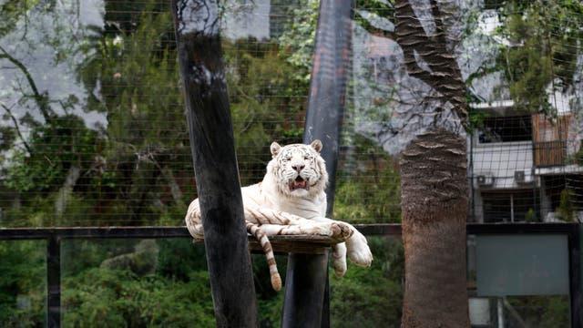 Uno de los tres tigres de bengala blancos de la colección. Foto: LA NACION / Fernando Gutierrez
