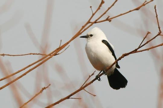 Monjita dominicana. Foto: Gza. Aves Argentinas/ Roberto Moller Jensen