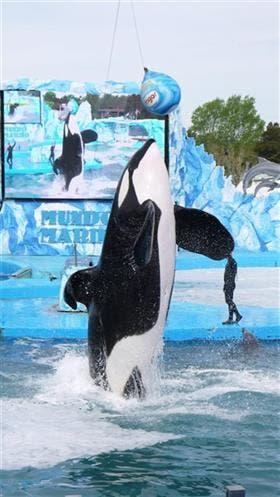 Kshamenk es la única orca en cautiverio de América Latina. Delfines hay en varios oceanarios