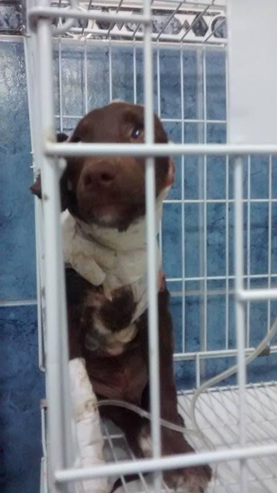 Crueldad brutal contra un perro: lo despellejaron y lo dejaron tirado en la calle