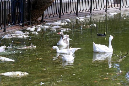 Así amanecieron los lagos de Palermo. Foto: DyN