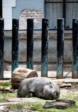 Un hipopótamo pigmeo. Foto: LA NACION / Fernando Gutierrez