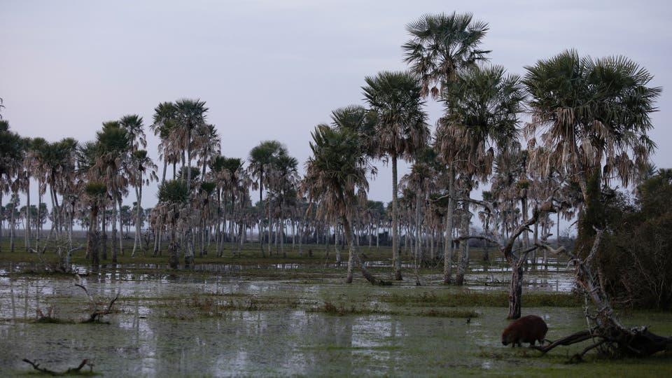 Las palmeras caranday sobreviven bajo el agua. Foto: LA NACION / Ricardo Pristupluk / Enviado especial