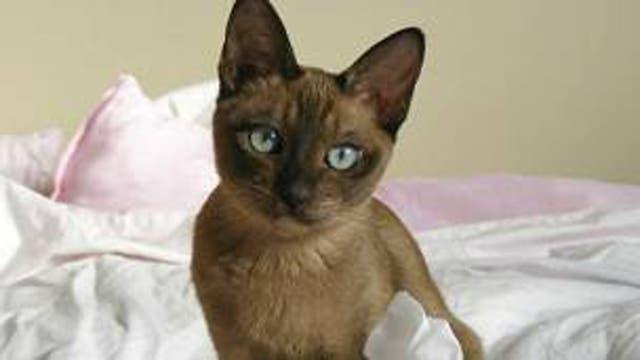 Se trata de una gata tokinesa, una mezcla de razas siamesa y birmana.