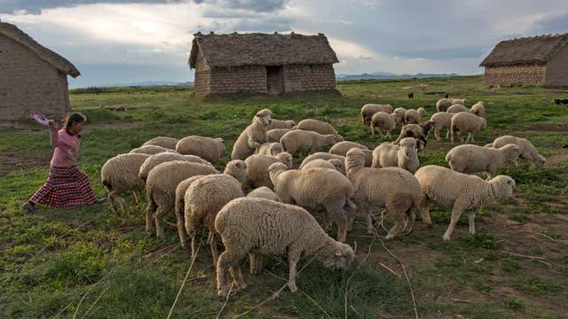 María Ávila arrea su rebaño de ovejas en Coata, un pequeño pueblo a orillas del lago Titicaca en la región de Puno, Perú
