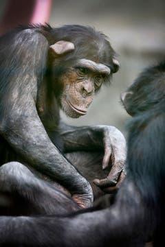 Los chimpancés, en el área de primates. Foto: LA NACION / Fernando Gutierrez