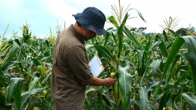 Hay zonas donde el maíz tiene problemas en el llenado de granos