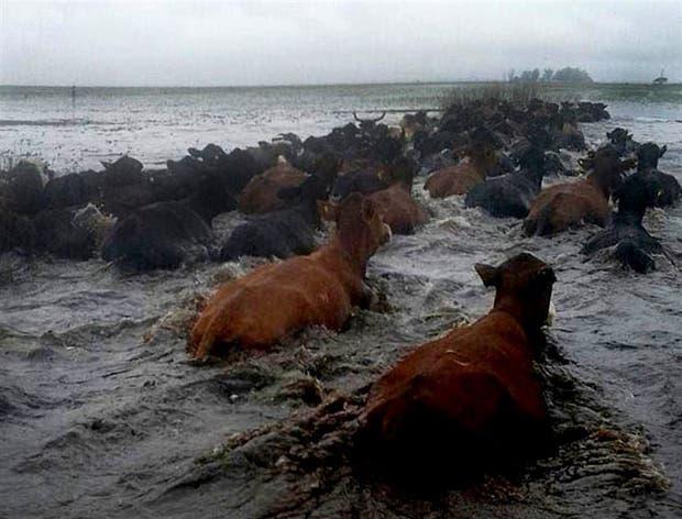 En Caá Catí, las vacas intentan salvarse