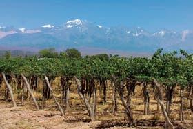 Viñedos de bonarda en la provincia de Mendoza
