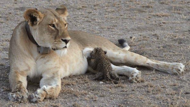 La leona que adoptó a un cachorro de leopardo