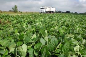 La soja fue en 1996 el primer cultivo transgénico aprobado
