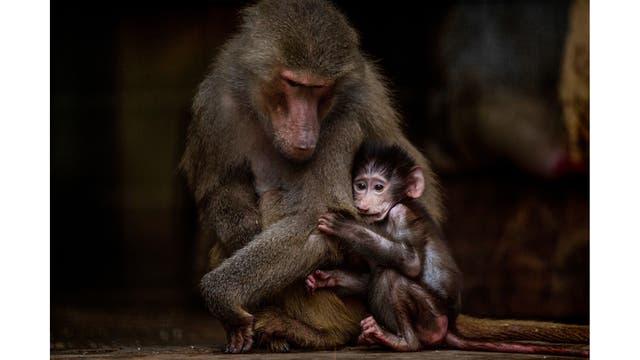 Un joven babuino se aferra a su madre en su recinto en el antiguo zoológico de la ciudad