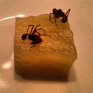 Degustación de hormigas del Amazonas sobre trozos de ananá. Foto: Germán Martitegui