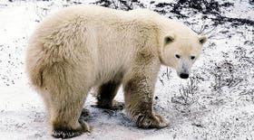 El oso polar pasó a integrar la lista roja de los animales amenazados