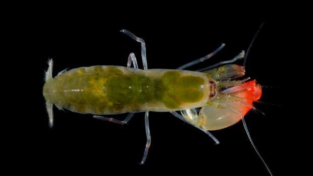Un ejemplar del Synalpheus pinkfloydi. Su sonido -que puede llegar a superar los 210 decibeles- puede matar a peces pequeños
