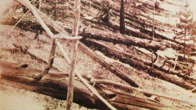 Arboles caídos luego del impacto de Tunguska