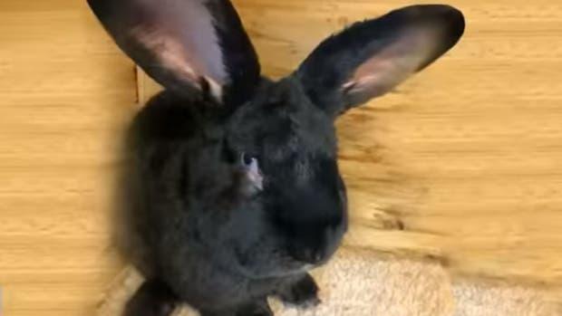 Otro dolor de cabeza para United: murió un conejo enorme en uno de sus vuelos