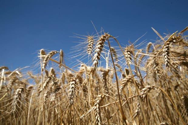 El cereal argentino tuvo activa colocación en otros mercados distintos de Brasil