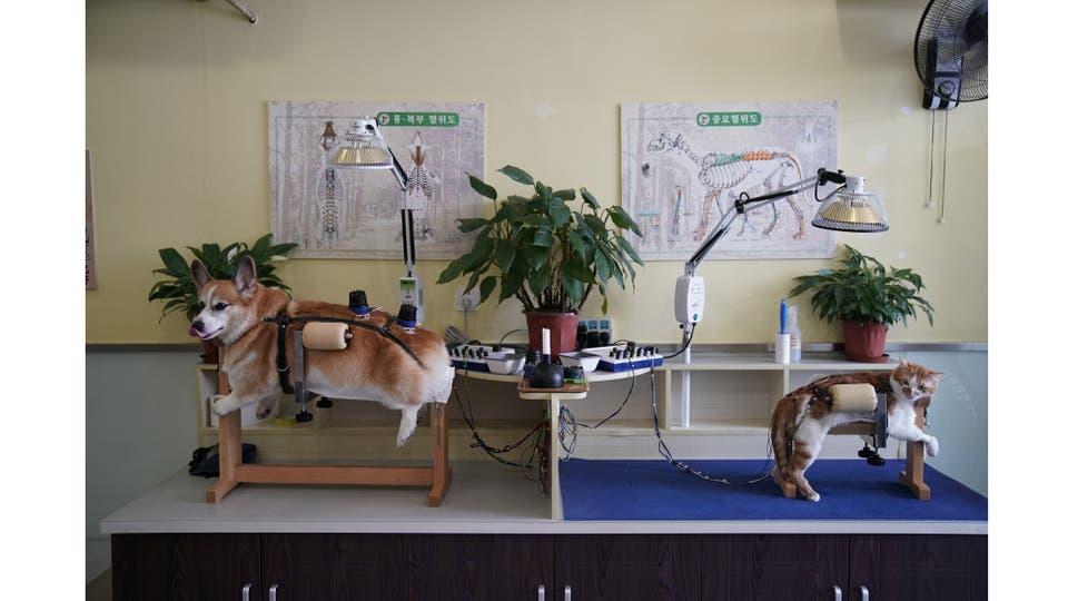 Un perro y un gato reciben tratamiento en Shanghai TCM (Medicina Tradicional China) Neurología y Acupuntura Centro de Salud Animal, que se especializa en acupuntura