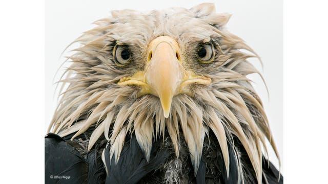 """""""Bold eagle"""". Un águila calva bajo la lluvia, en Dutch Harbor en la isla de Amaknak, Alaska"""