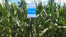 México importará 300.000 toneladas de maíz brasileño