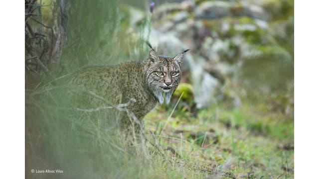 """""""Glimpse of a lynx"""". Lince ibérico, un gato en peligro de extinción encontrado sólo en dos pequeñas poblaciones del sur de España. A diferencia del lince europeo más grande, el lince ibérico se alimenta casi enteramente en conejos"""