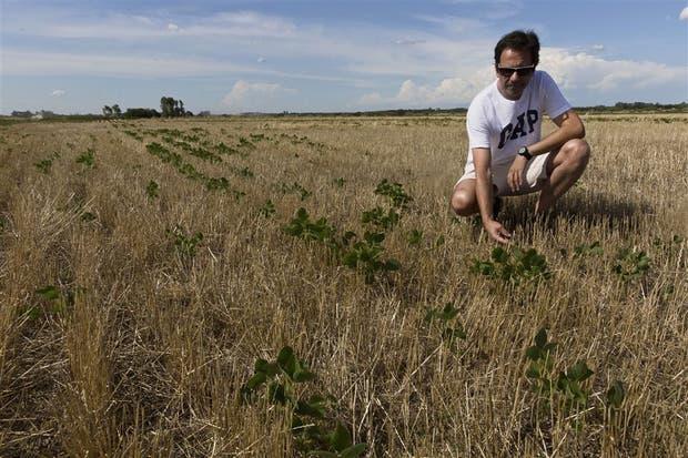 El productor Silvio Illia, en un lote de soja en Pergamino