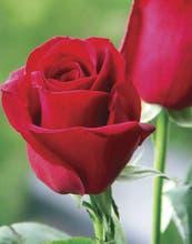Ideas, cuidados y tips para decorar tu casa con rosas