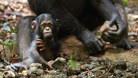 La historia de Oscar, un pequeño chimpancé de tres años huérfano que es adoptado por el jefe del grupo