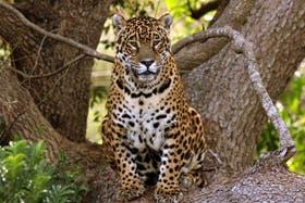 Tobuna tuvo cinco camadas con ocho crías y espera ahora la llegada de un macho para repoblar el Iberá