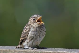Cómo salvar a un pichón que cayó de su nido