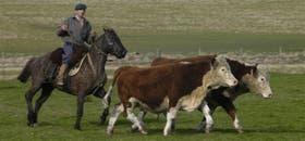 Ultimamente, la tradicional ganadería uruguaya en campo natural se complementa en feedlot