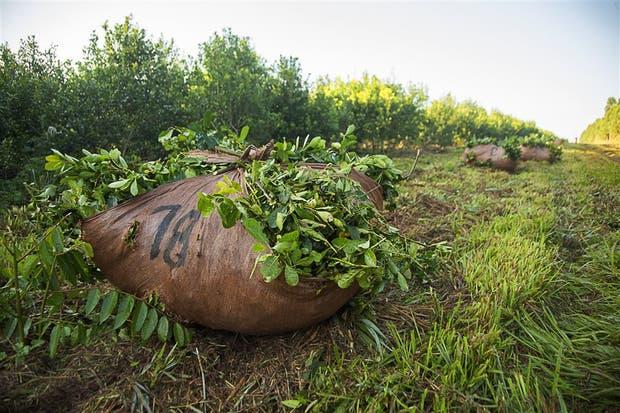 La producción de yerba sufre una crisis por la suba de costos y los bajos precioso