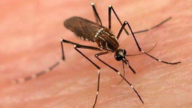 El mosquito Aedes aegypti transmite dengue, zika y chikungunya