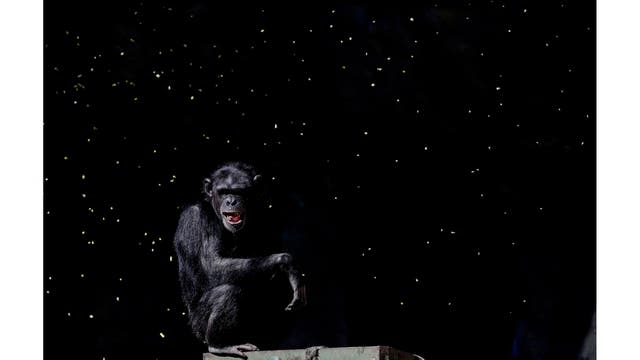 Un chimpancé observa como un trabajador tira puñados de granos en su recinto, en el antiguo zoológico de la ciudad ahora conocido como Eco Parque