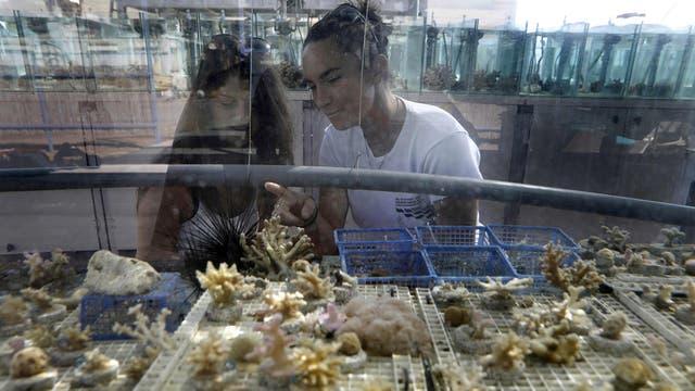 Gal Eviatar (L) y Jessica Bellsworthy, estudiantes que realiza investigaciones sobre los arrecifes de coral del Golfo de Eilat, mientras examinan corales en un acuario del Instituto Interuniversitario de Ciencias del Mar de Eilat Israel