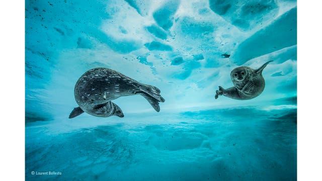 """""""Swim gym"""". Focas de Weddell en la Antartida"""