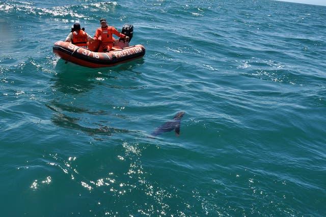 Uno de los ejemplares de lobo marino liberado en Mar del Plata