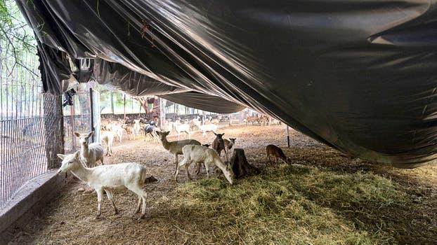 Un grupo de cabras en el paseo cuyano. Foto: M. Aguilar López