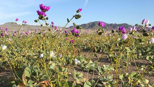 """El """"desierto florido"""" de Atacama"""