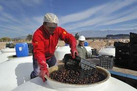 La provincia es la principal productora de aceituna de mesa