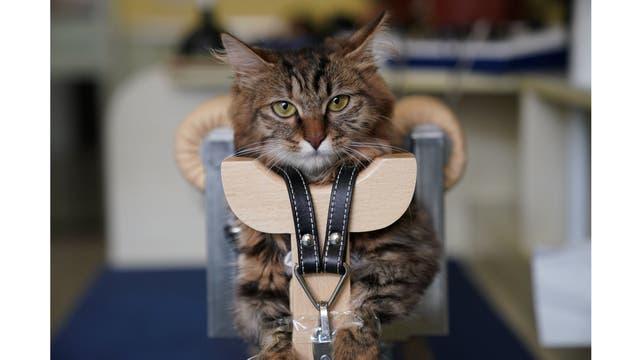 Un gato recibe su tratamiento de 45 minutos