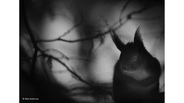 """""""Winter pause"""". La ardilla roja cerró los ojos por un momento, las patas juntas, la piel peluda, luego reanudó su búsqueda de comida. El invierno es un momento difícil para los animales del norte. Algunos hibernan para escapar de sus rigores, pero no las ardillas rojas"""
