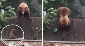 La osa intentó rescatar a su cachorro que quedó del otro lado de la valla